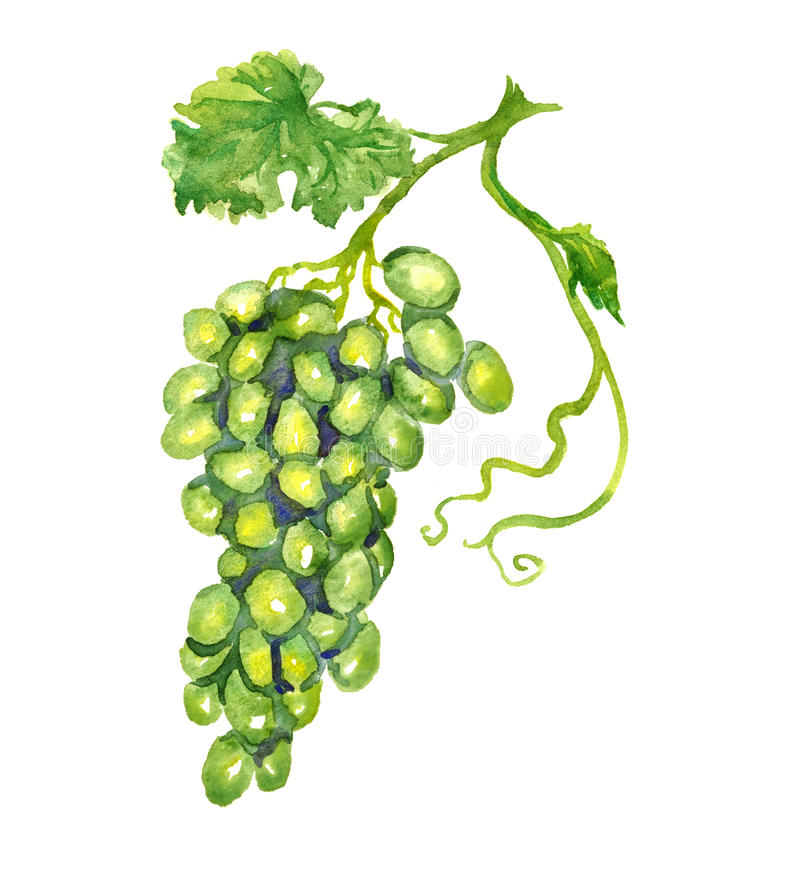 Bunch of white grapes with leaf royalty free stock photo
