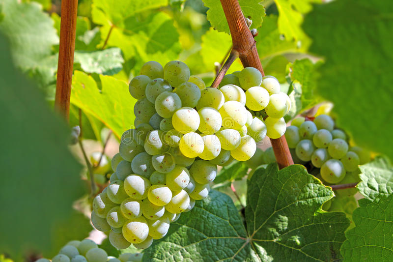 Bunch of white grapes royalty free stock photography