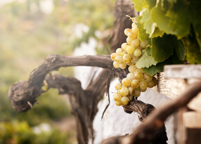 Bunch of white grapes in the vineyard. In the Wine Museum of Thira, Santorini, Greece royalty free stock photo
