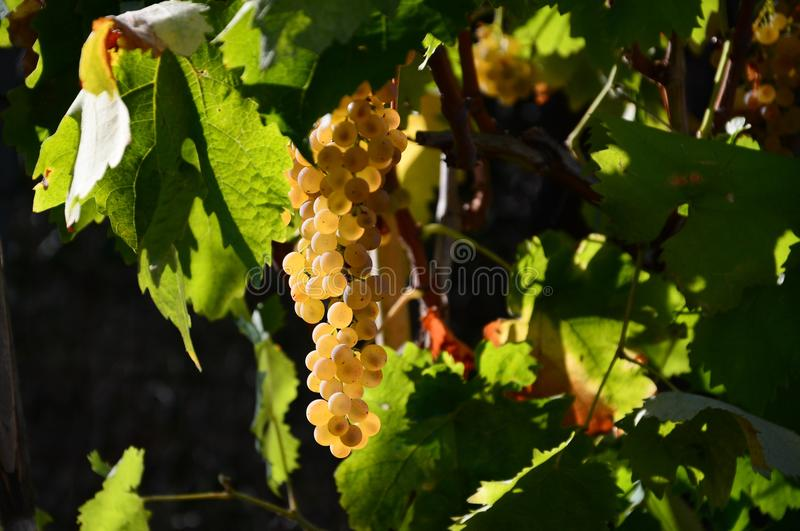 Bunch of white grapes on vineyards in Tuscany. stock photo