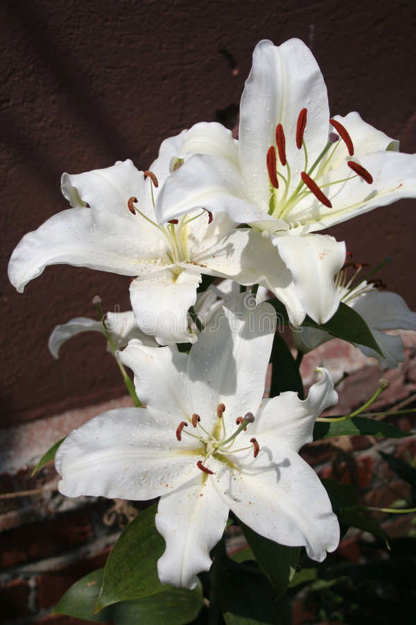 Bunch of white lilies royalty free stock images