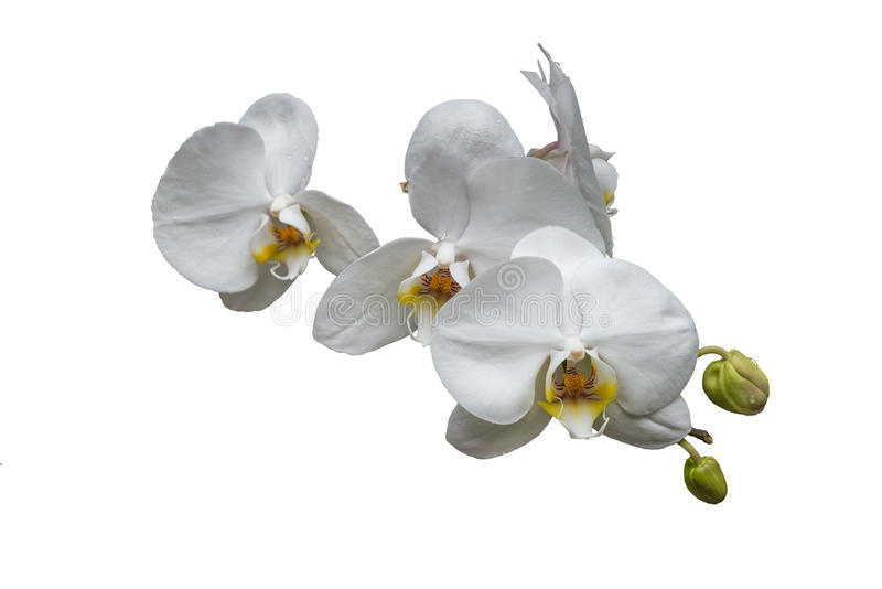 Bunch of white orchids with buds and yellow center isolated on w. Hite background no stem stock photo