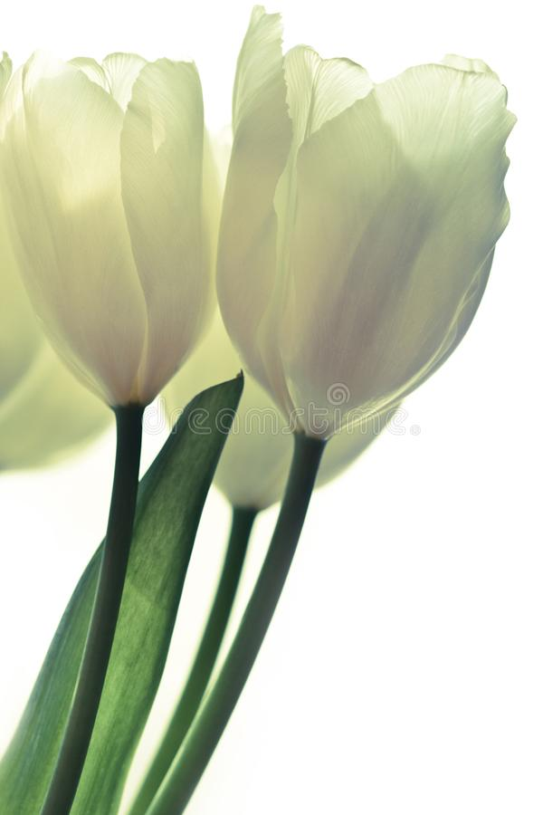 Bunch of white tulips royalty free stock photography