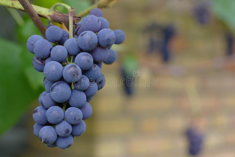 Bunch of Wine Grapes stock images