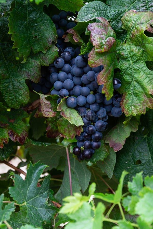 Bunch of wine grapes, dark blue. Bunch of dark blue wine grapes, red wine, grapevine harvest season stock image