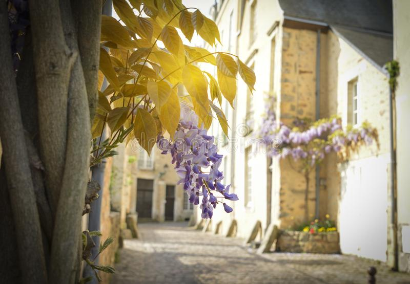 Bunch of wisteria with rays of sun in the old part of the city Le mans. France stock photo