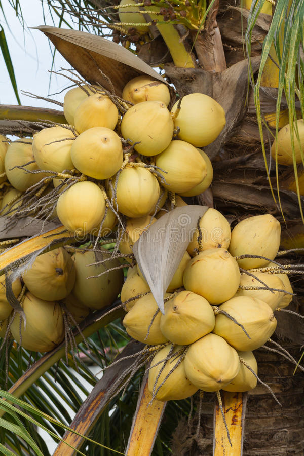 Bunch of yellow coconut fruits hanging on tree. Golden coconut royalty free stock photos