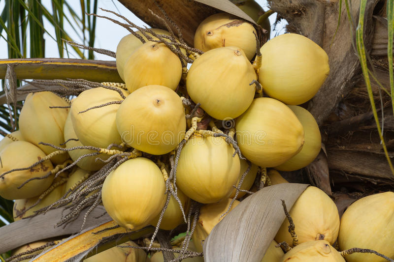 Bunch of yellow coconut fruits hanging on tree. Golden coconut stock image