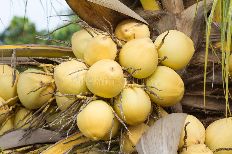 Bunch of yellow coconut fruits hanging on tree. Golden coconut royalty free stock image