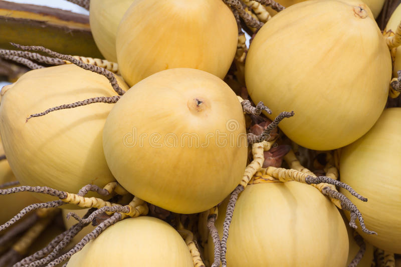 Bunch of yellow coconut fruits hanging on tree. Golden coconut stock photo
