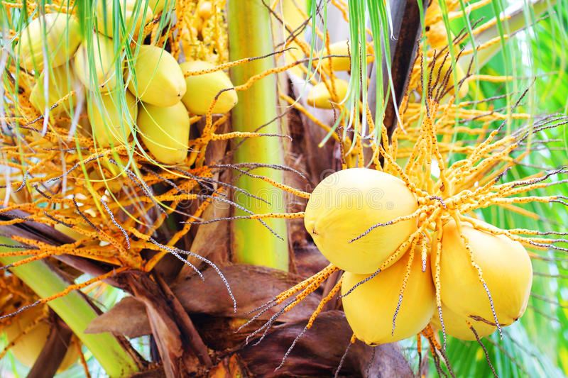 Bunch of Yellow Coconut at Palm Tree. Bunch of Yellow Coconut at Tropical Palm Tree royalty free stock image