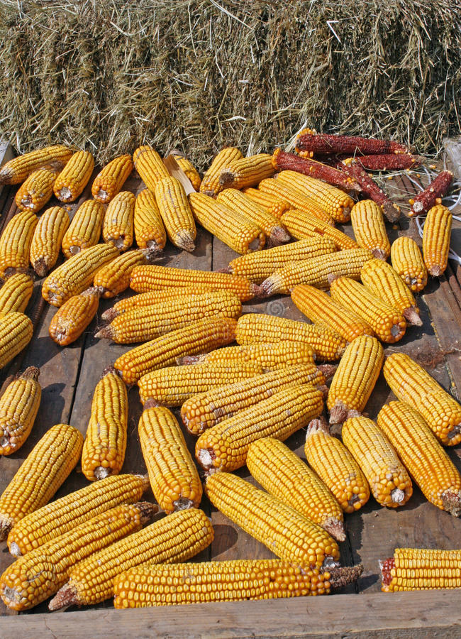 Bunch Of Yellow Corn After Harvest Of The Farmer Royalty Free Stock Image
