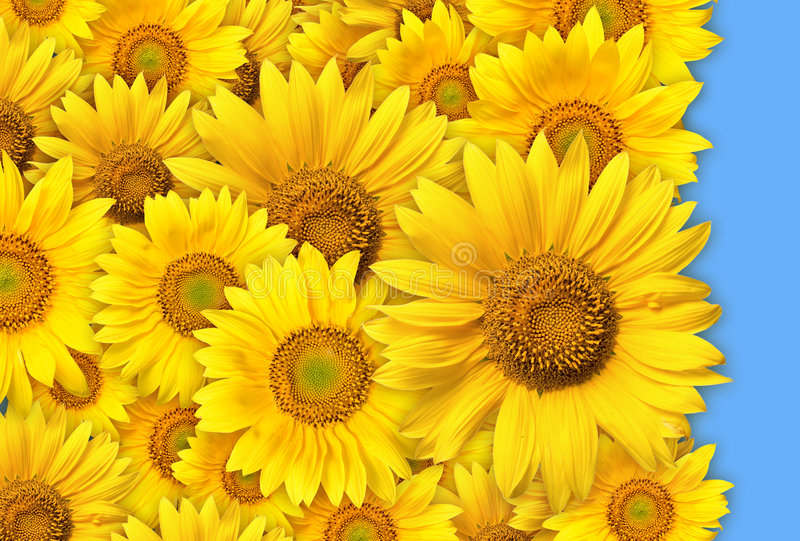 Download Bunch Of Yellow Flowers Stock Photos - Image: 5666693