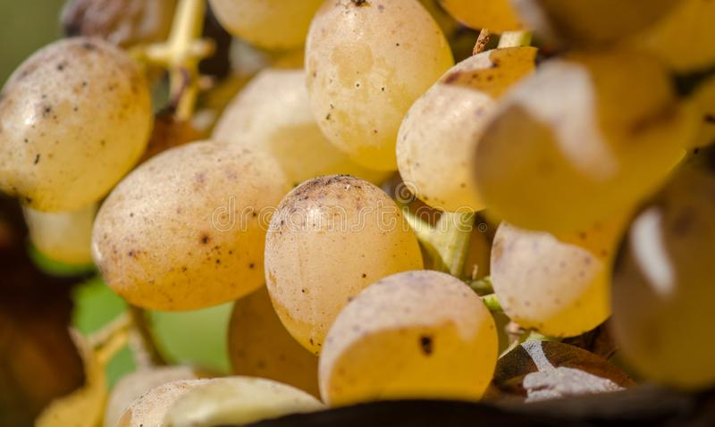 A bunch of yellow grapes. Close up photo of yellow grapes bunch. Autumn time royalty free stock photography