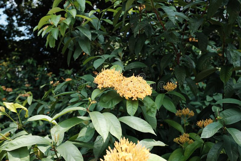 A bunch of yellow ixora flowers royalty free stock images