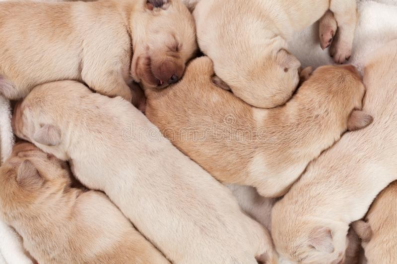 Bunch of yellow labrador puppies sleeping royalty free stock images