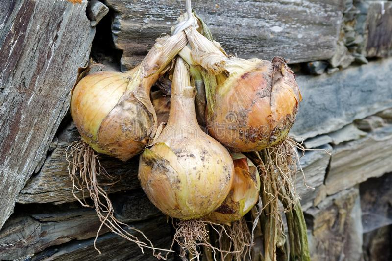 Bunch of yellow onions hanging and drying next to a rustic stone stock photos