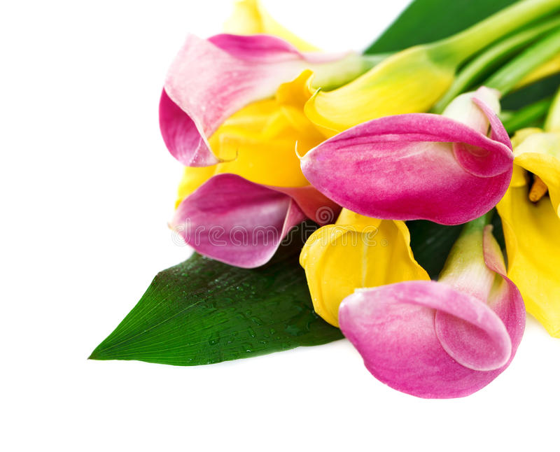 Download Bunch Of Yellow And Pink Cala Lilies Stock Photo - Image: 28534314
