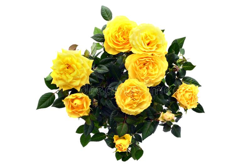 Bunch of yellow rose on white isolated background. top view stock photos