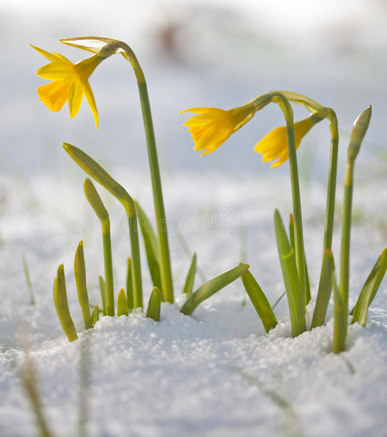 Image result for photo of daffodils blooming in snow