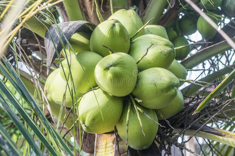 A bunch of young green coconuts on a palm tree royalty free stock photos