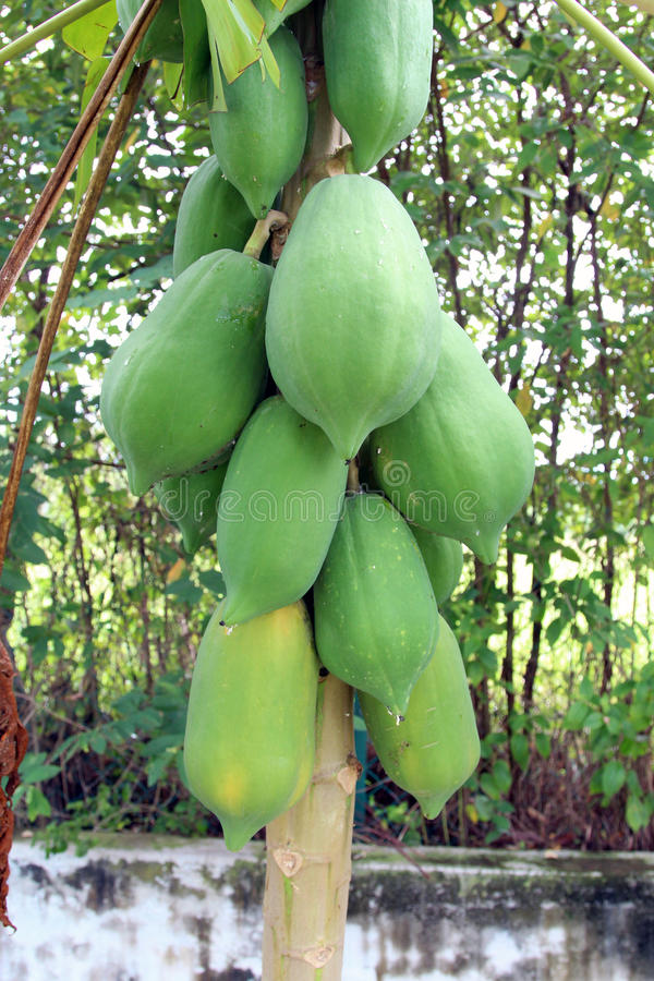 A bunch of young Papaya fruit on a tree royalty free stock images
