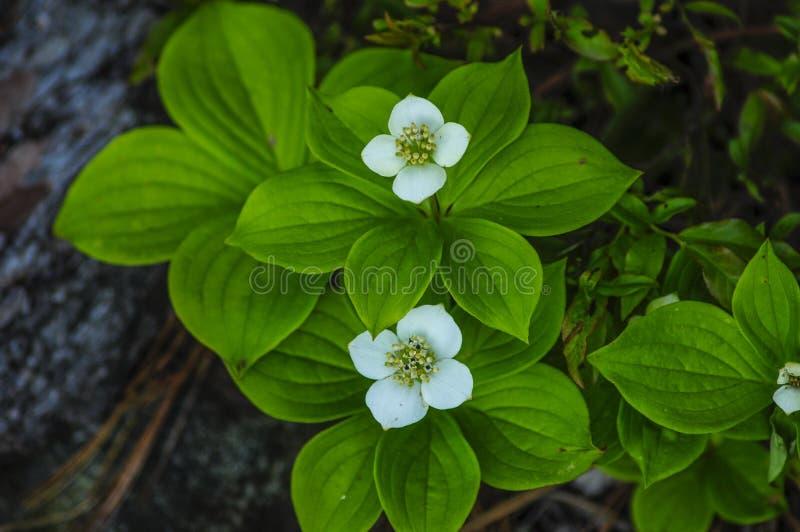 Bunchberries Cornus Canadensis, Siamese dammvildmarkområde, Adirondack Forest Preserve, New York royaltyfri foto