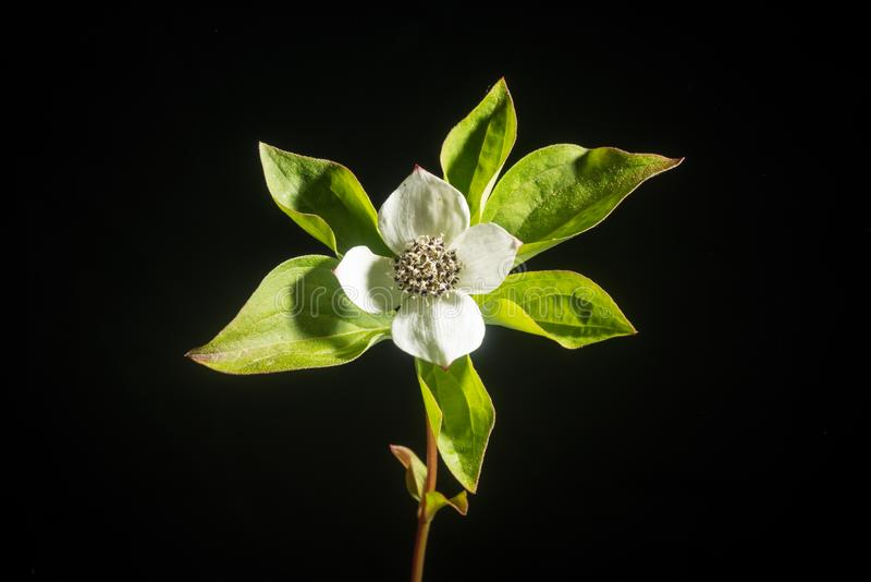 Bunchberry Cornus Canadensis Isolated On Black Stock Image
