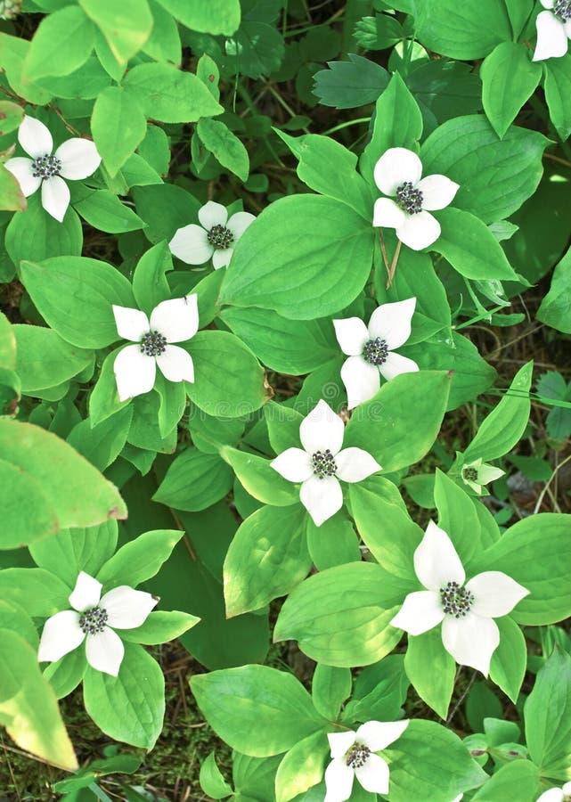Bunchberry do anão (canadensis do Cornus) imagens de stock