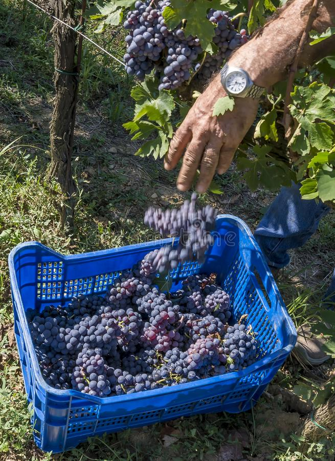 Bunches of black grapes are thrown into plastic crates for the harvest of a vineyard royalty free stock images