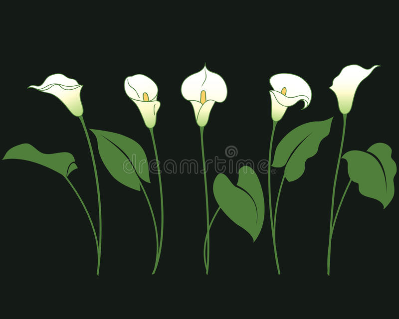 Bunches of calla lily vector illustration