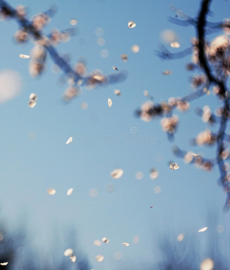 Bunches of cherry blossom stock photos