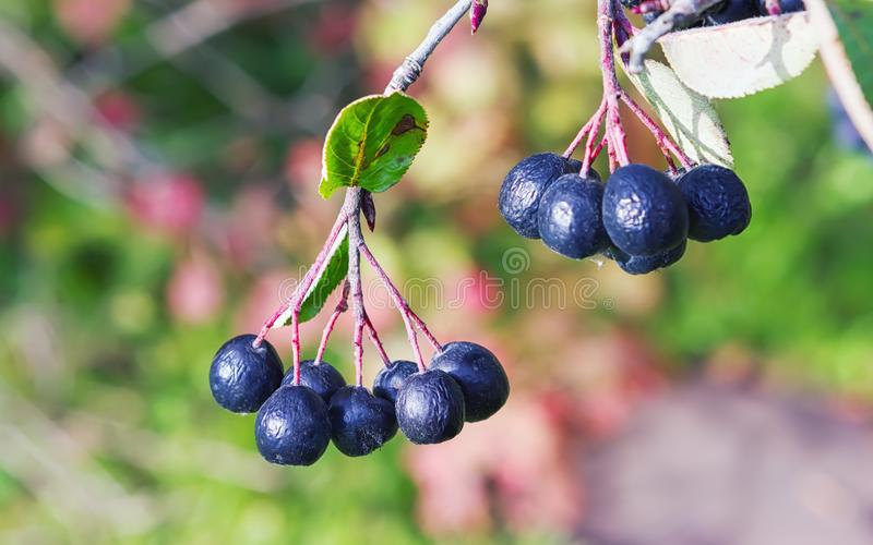 Bunches of Chokeberry in Autumn Sunlight Close-up stock images