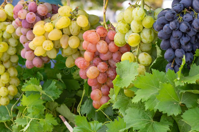 Bunches of different common grape vine species. Hanging together stock photos