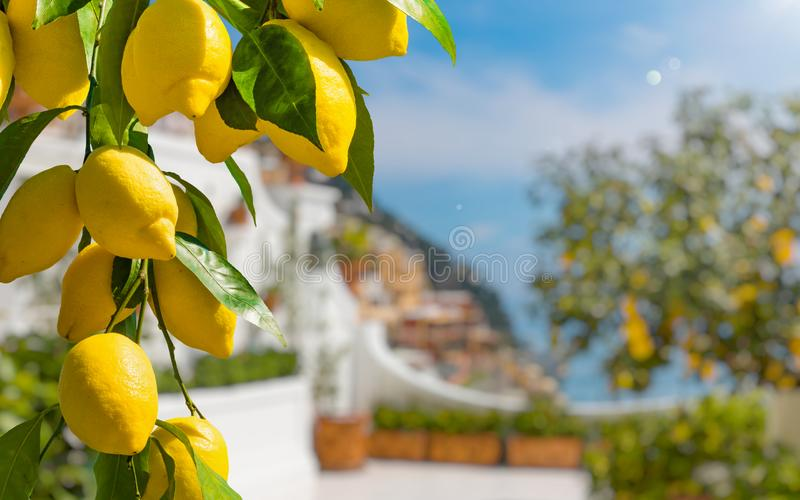 Bunches of fresh yellow ripe lemons with green leaves stock photos