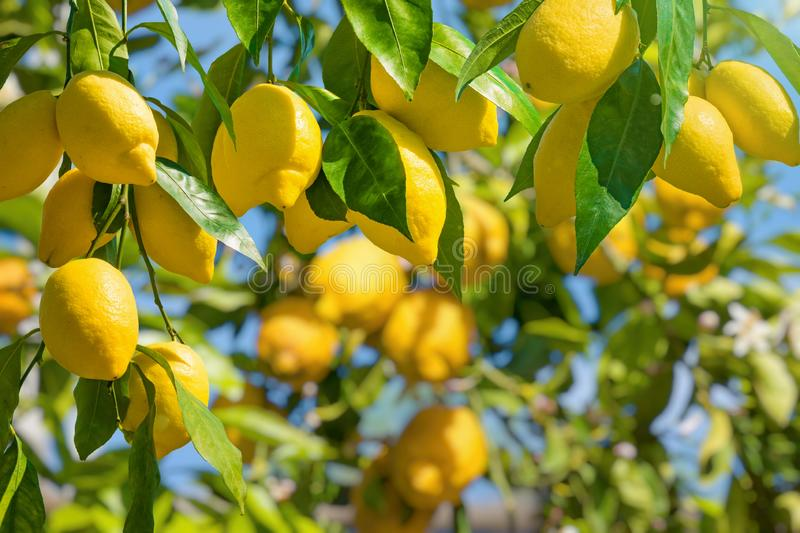 Bunches of fresh yellow ripe lemons with green leaves. Lemon garden in Italian Amalfi coast ready for harvest. Bunches of fresh yellow ripe lemons with green royalty free stock photo