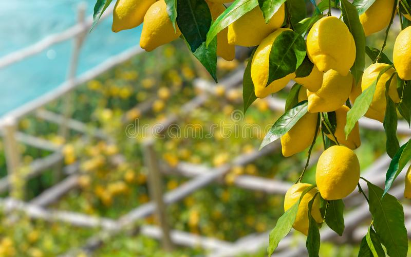 Bunches of fresh yellow ripe lemons with green leaves royalty free stock photography