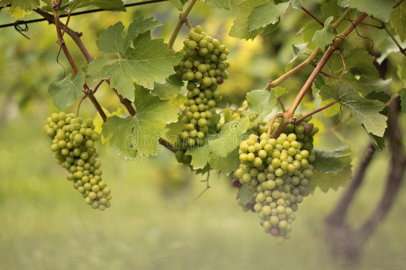 Bunches of grapes ripened in vineyards royalty free stock photo