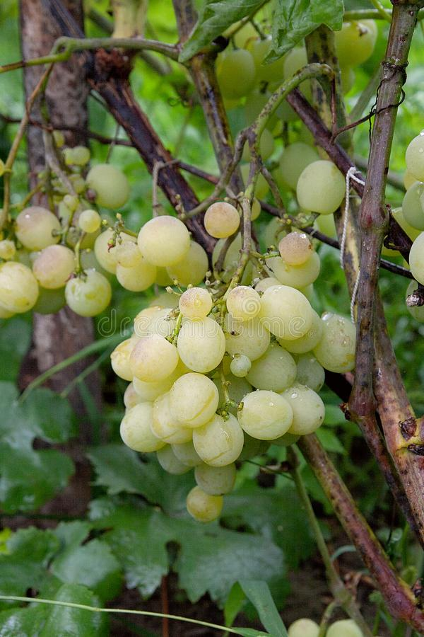 Bunches of grapes in a vineyard after rain on a wine estate or f stock photos
