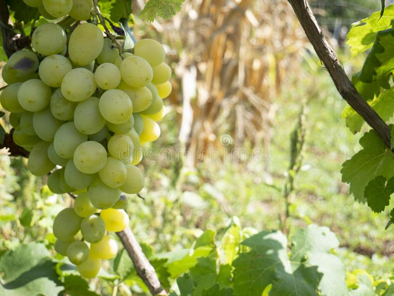 Bunches of grapes in a vineyard in a rural garden royalty free stock photos