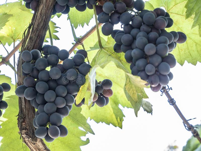 Bunches of grapes in a vineyard in a rural garden stock photography
