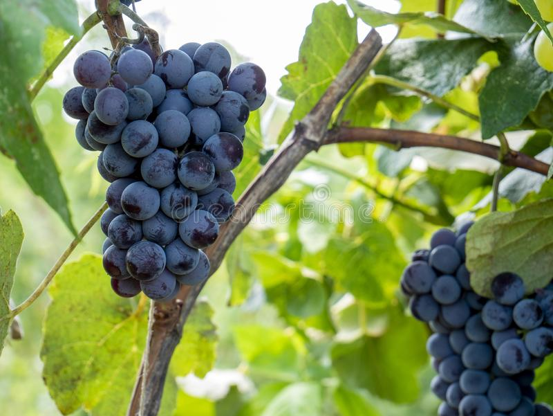 Bunches of grapes in a vineyard in a rural garden stock image