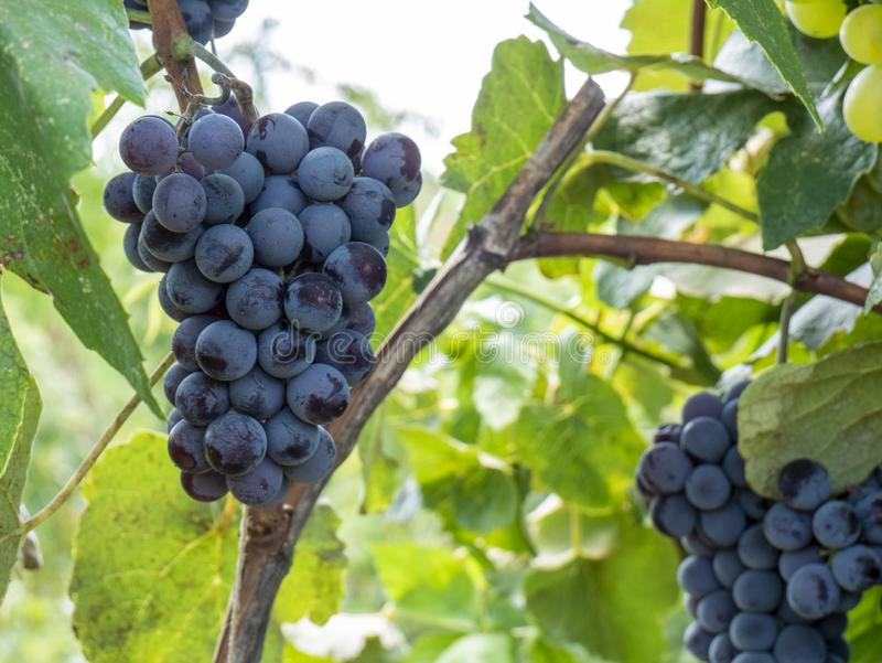 Bunches of grapes in a vineyard in a rural garden royalty free stock photography