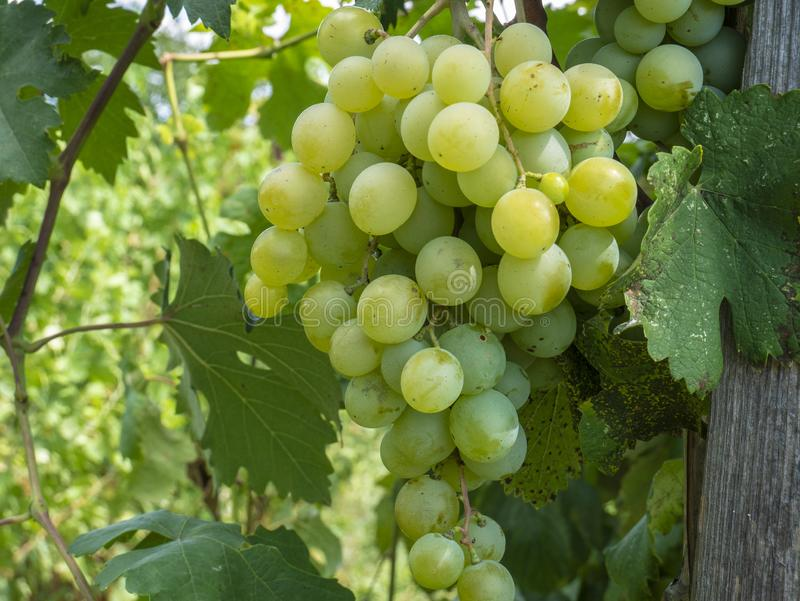 Bunches of grapes in a vineyard in a rural garden royalty free stock photo