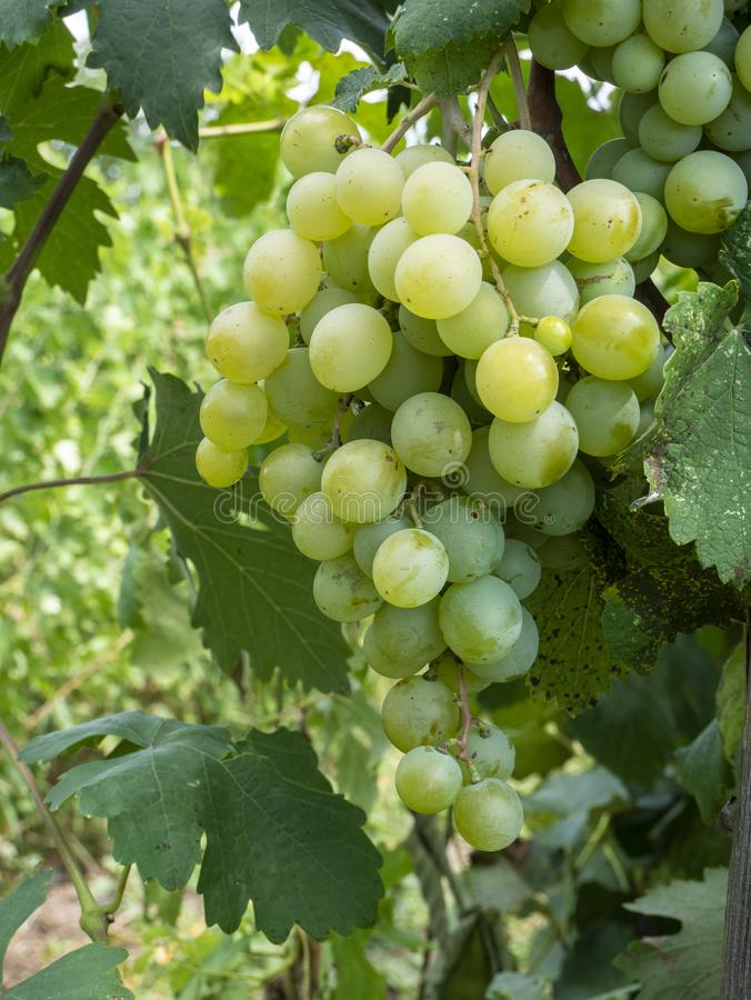 Bunches of grapes in a vineyard in a rural garden stock images