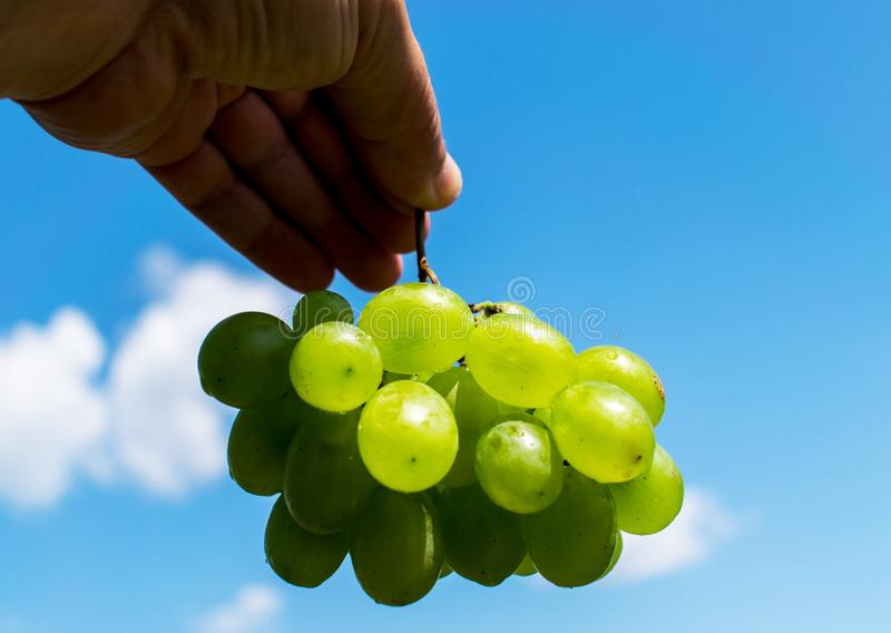 Bunches of grapes. Yellow and green grapes held by hand. In the background you can see a beautiful blue sky with clouds.  stock image