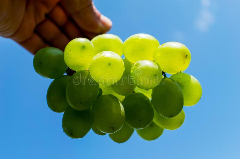 Bunches of grapes. Yellow and green grapes held by hand. In the background you can see a beautiful blue sky with clouds.  royalty free stock photo