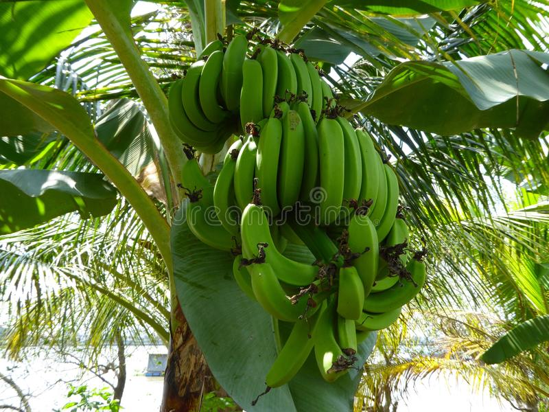 Bunches of green bananas on a banana tree royalty free stock photography