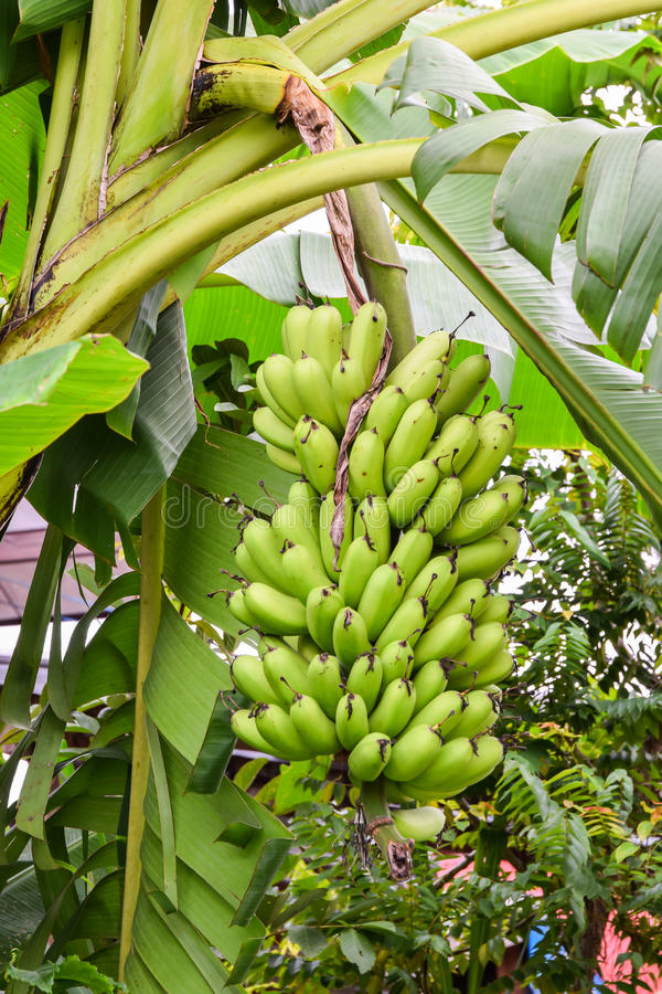 Bunches of green bananas growing farm royalty free stock images