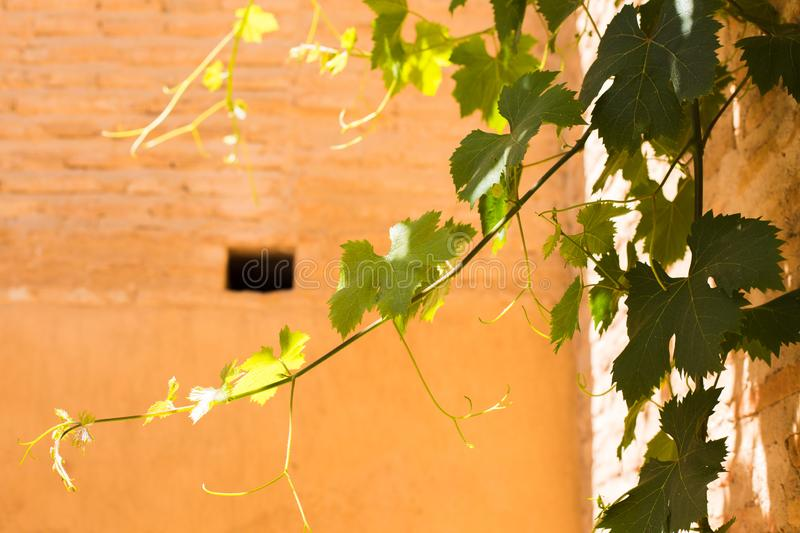 Bunches of green grapes hanging in the sun in front of an old stone wall stock image